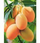 Mango Essential Oil Natural & Pure -- 10 Gram Bottle